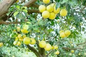 グレープフルーツのアロマオイル